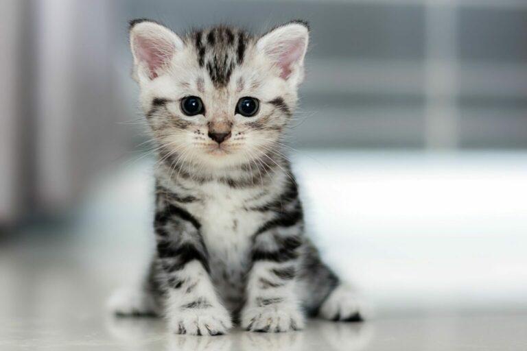 striped grey kitten