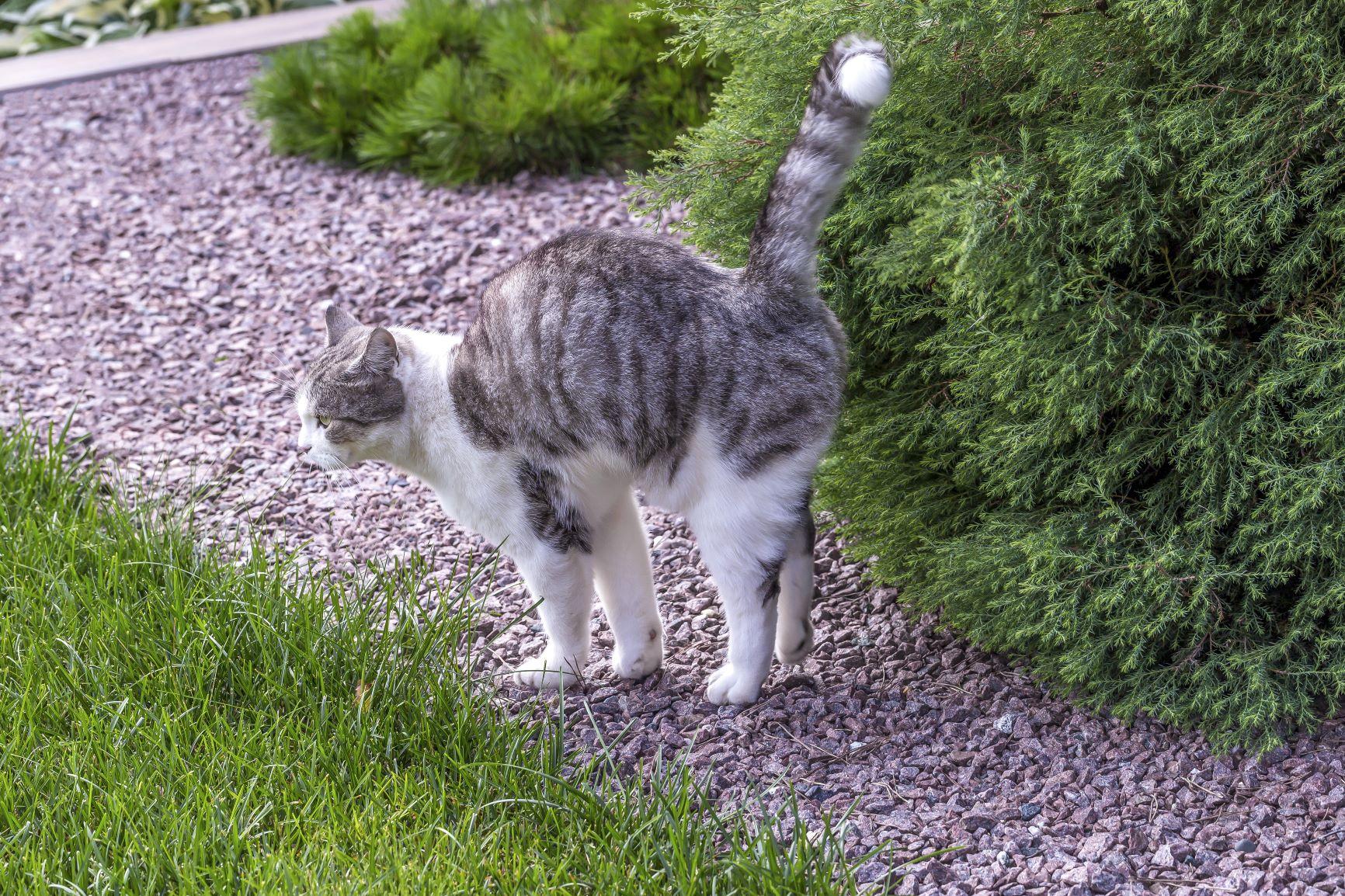 Cat in puberty marking