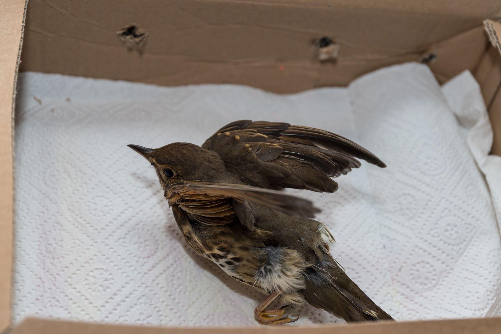 injured wild bird in cardboard box
