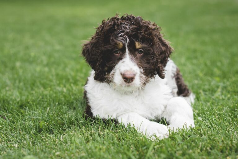 Bernedoodle dog breed