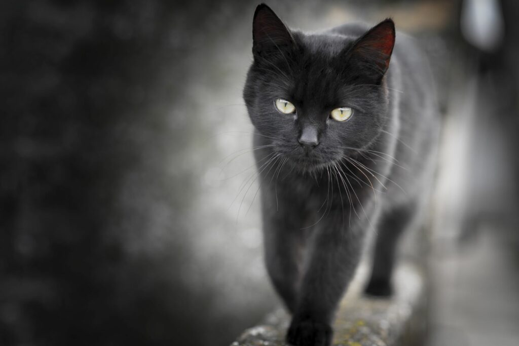black cat photography