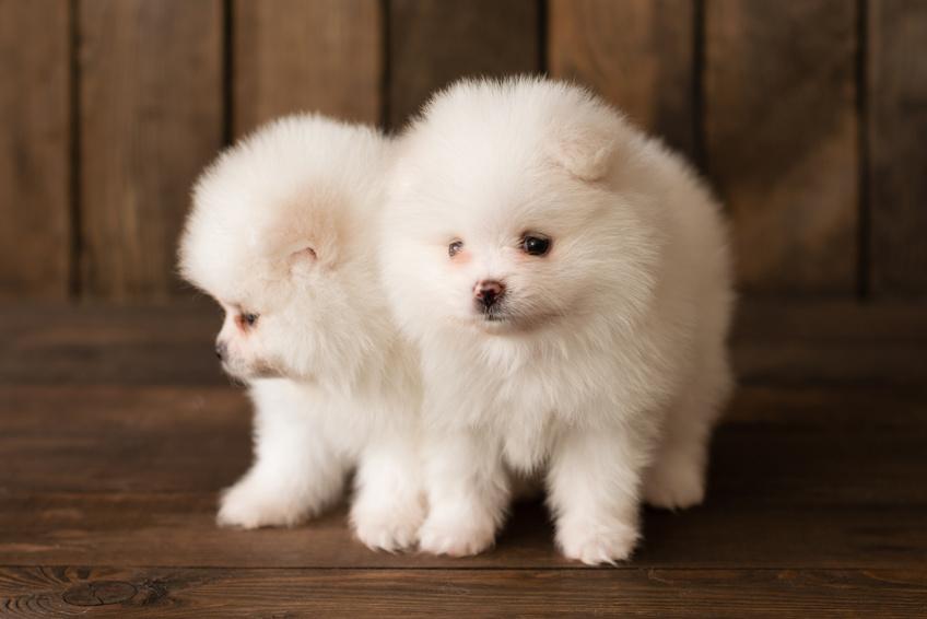 White cute pomeranian puppies