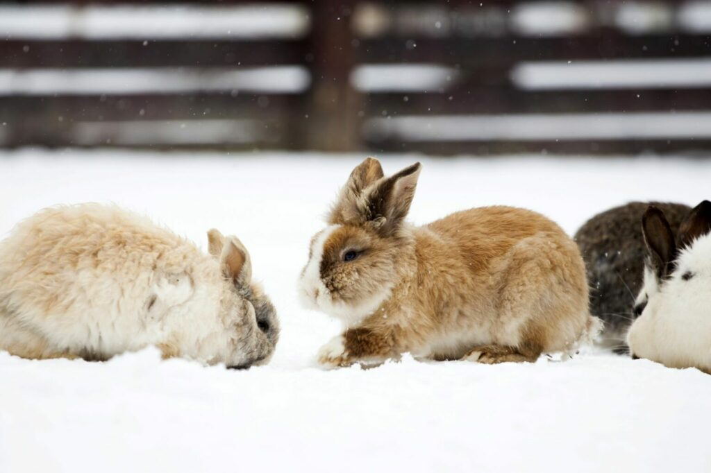 Three rabbits playing outdoors in the snow.