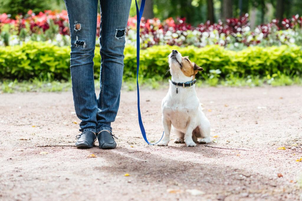 Leash training an adult dog