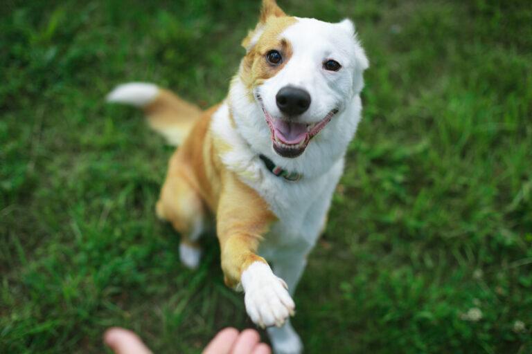 Training adult dogs