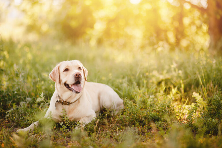 Happy Labrador in the park on a summer's day