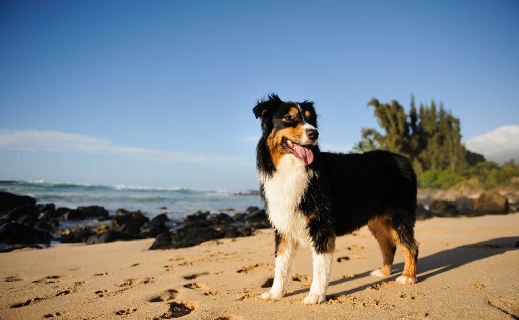 Australian Shepherd on the beach