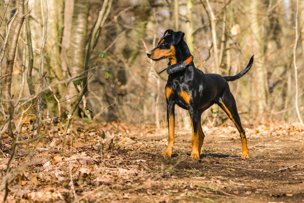 German Pinscher in the woods