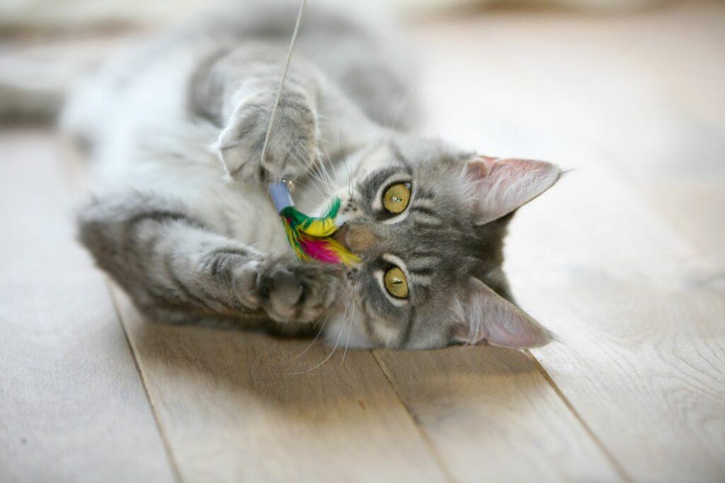 Indoor Cat Playing