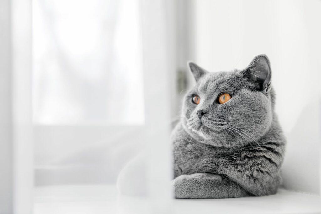 Indoor Cat British Shorthair