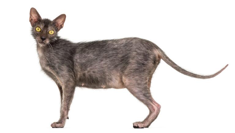 Lykoi cat breed