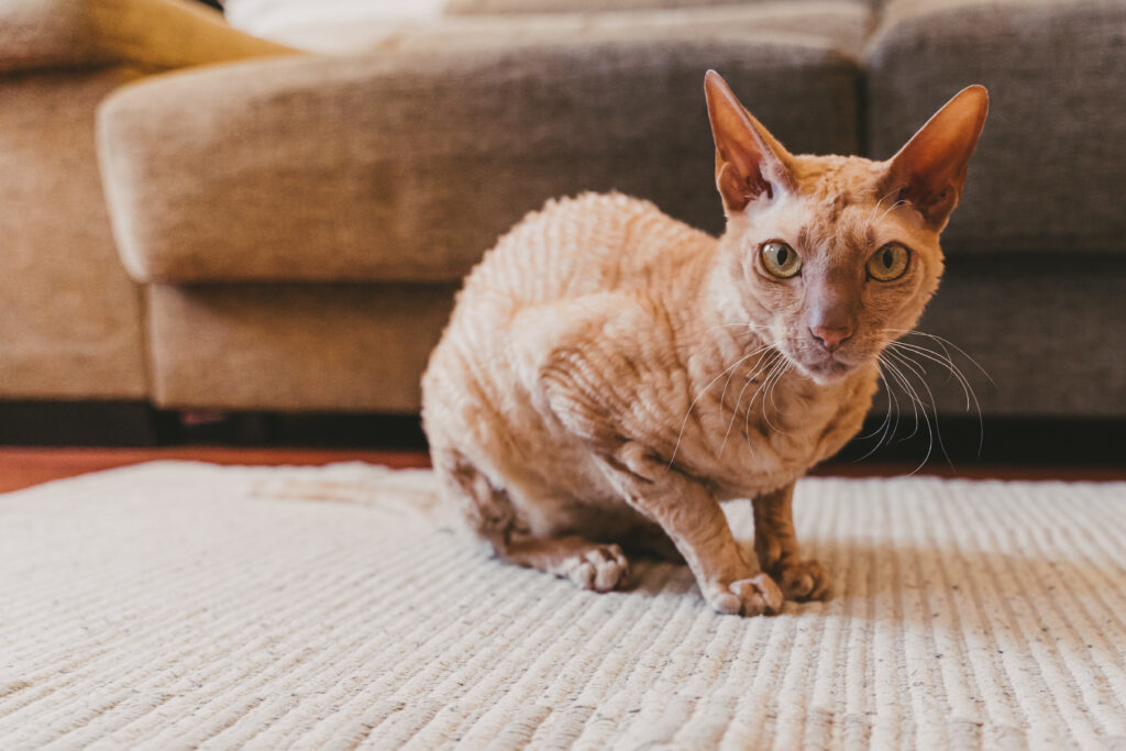 Peterbald cat indoors