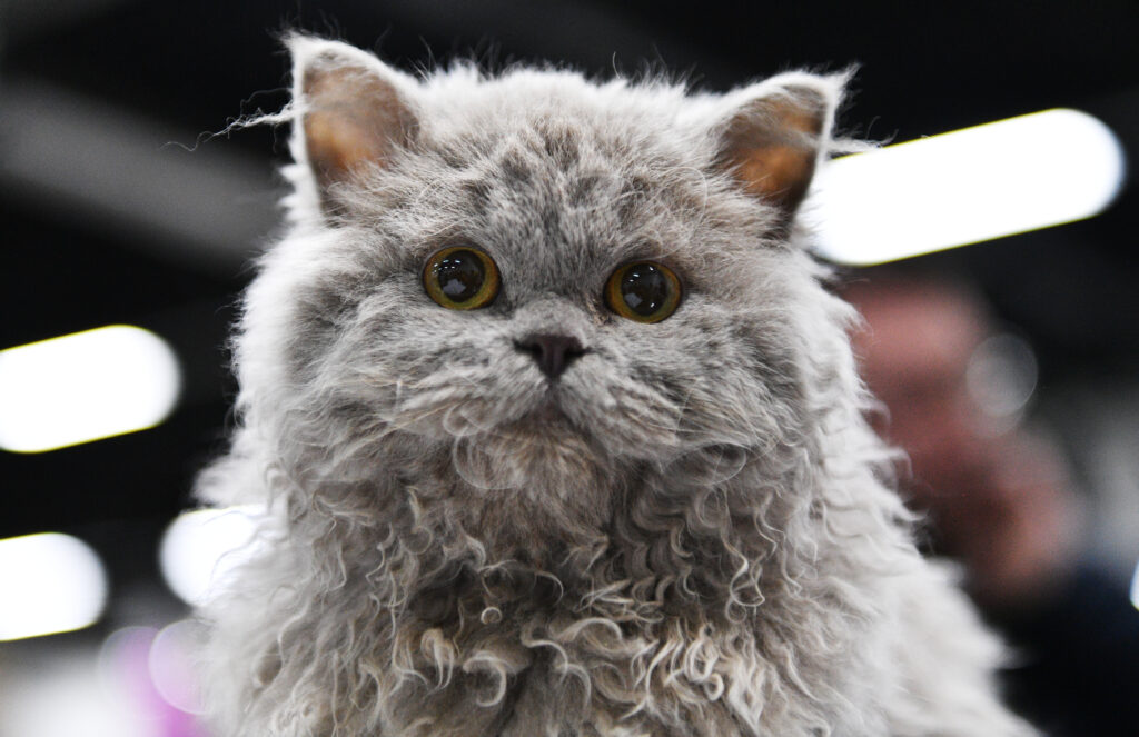 Selkirk Rex cat close-up