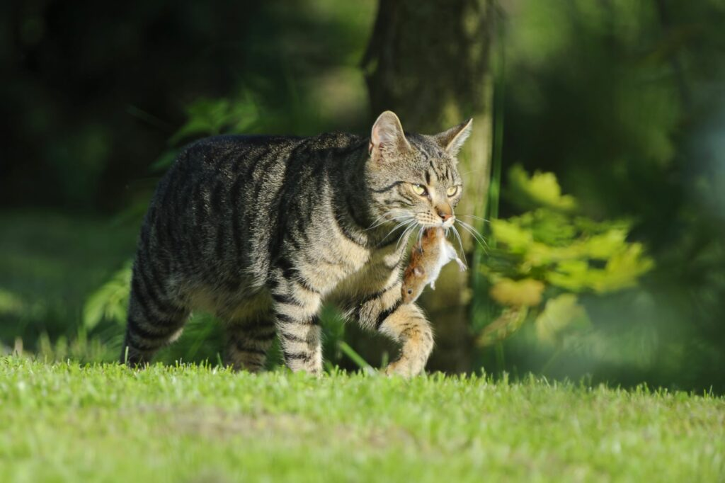 Outdoor cat with its prey