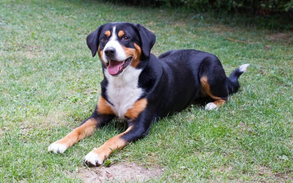 Appenzeller Mountain Dog