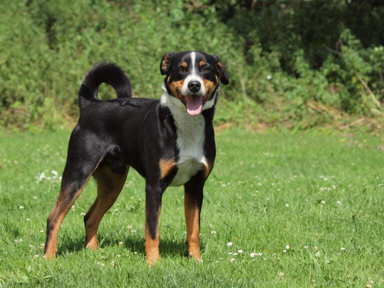Appenzeller Mountain Dog on grass