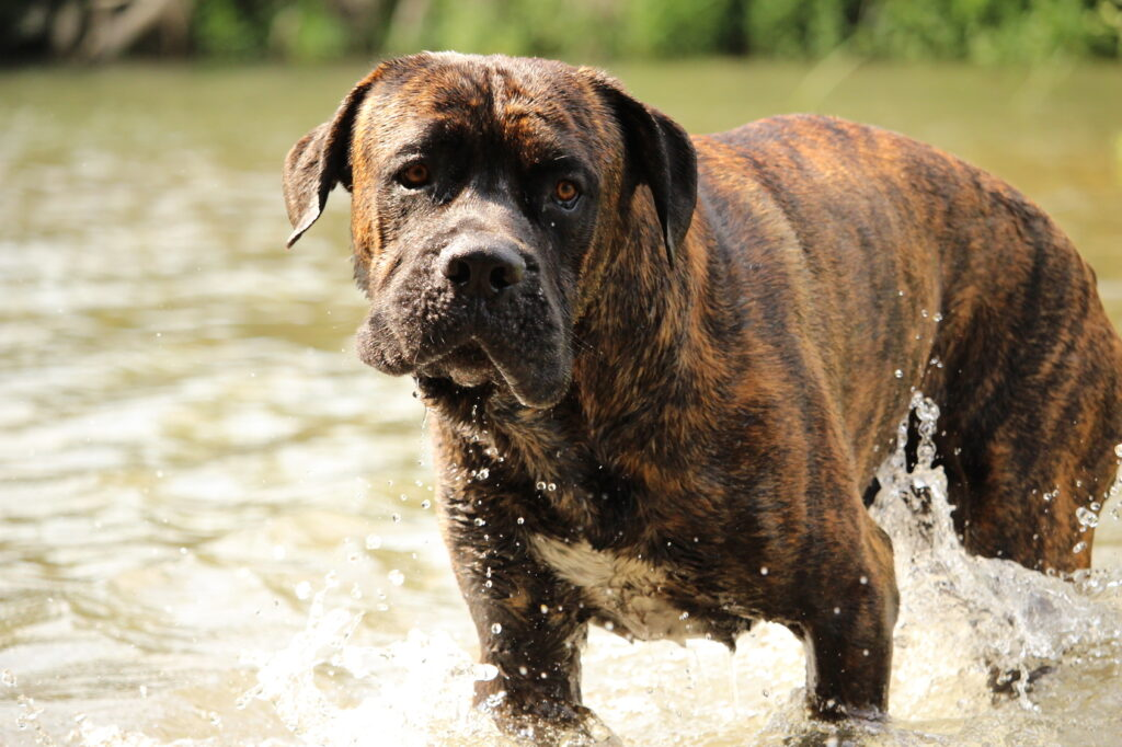 Cane Corso dog in water
