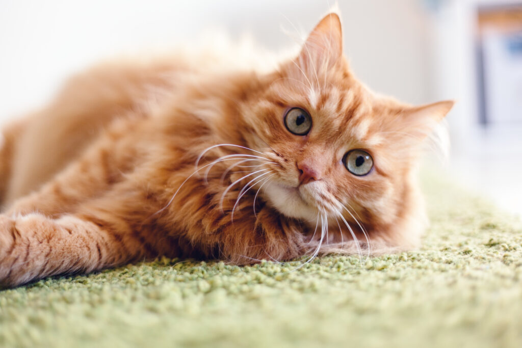 Cute and fluffy ginger cat