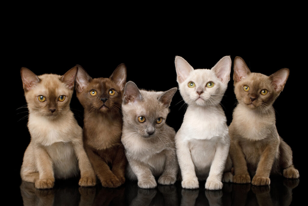 Different coloured Burmese kittens
