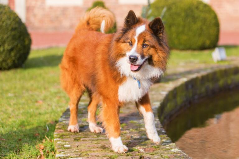 Elo Dog Breed