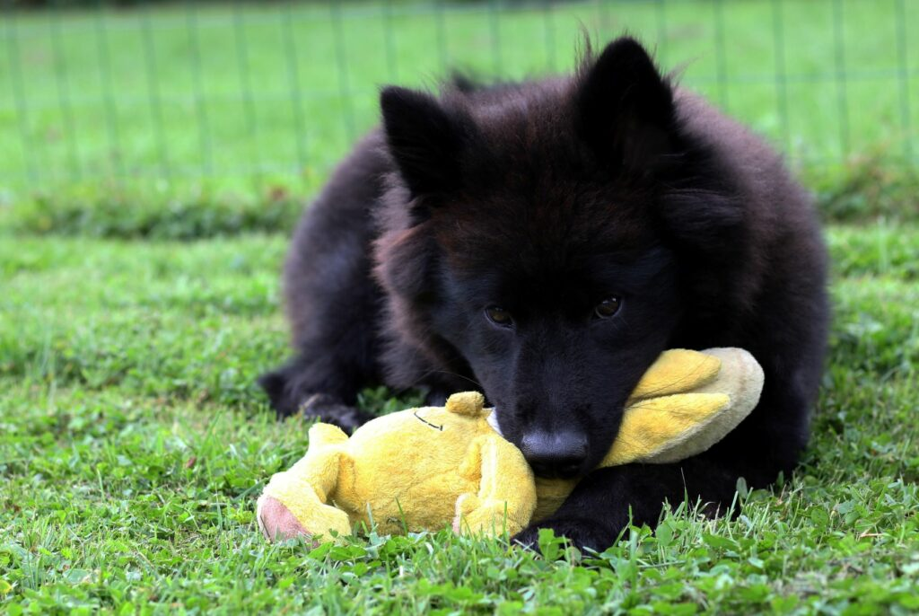 Eurasier with Toy