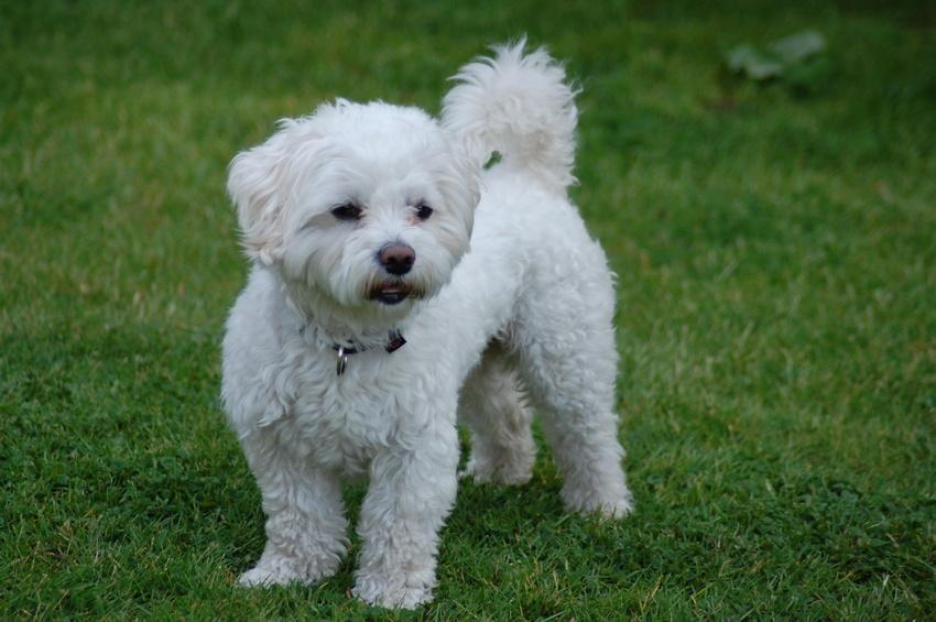 Maltese dog on the grass