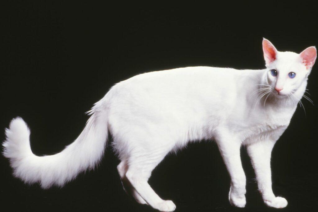 Javanese cat breed