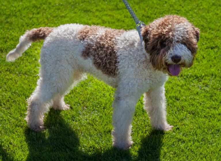 Purebred Spanish Water Dog