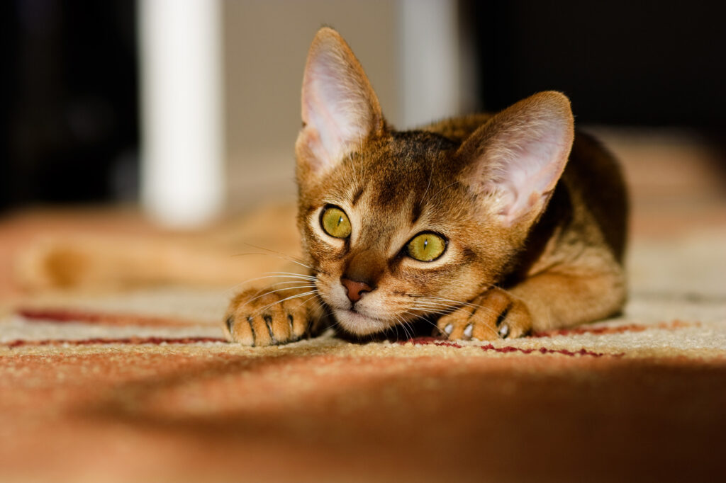 Young Abyssinian